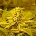 No Name (Medical Seeds)