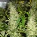 Malakoff (Medical Seeds)