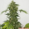 Auto Silver Haze (GreenLabel Seeds)