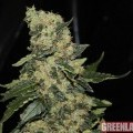 Berry Delight (GreenLabel Seeds)