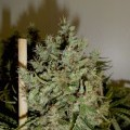Big Jack (GreenLabel Seeds)