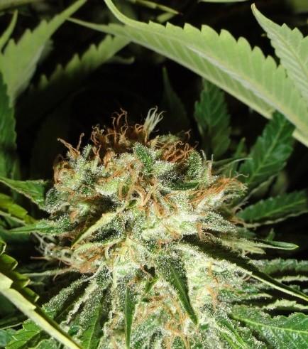 Everest Bud (GreenLabel Seeds)