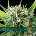 Amnesia (Vision Seeds)