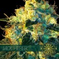 Jack Herer (Vision Seeds)