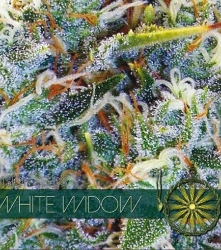 White Widow (Vision Seeds)