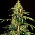Jack Herer (Bulldog Seeds)