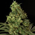 Northern Light (Bulldog Seeds)