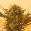 Sour P (Resin Seeds)