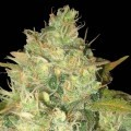Black Russian (Delicious Seeds)