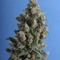Kushage (T.H. Seeds)