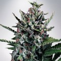 Auto Silver Bullet (Ministry of Cannabis)