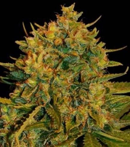 Northern Light x Big Bud Ryder (World Of Seeds)