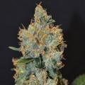 Lavender (CBD Seeds)