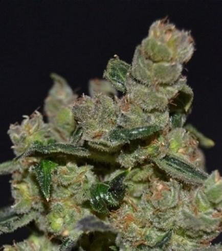 Diesel (CBD Seeds)
