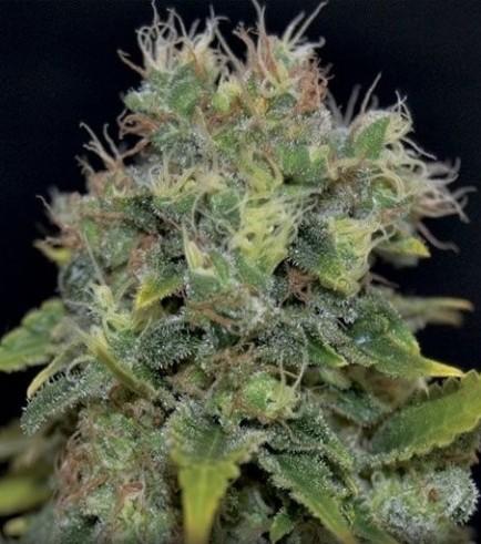 Auto Yumbolt (CBD Seeds)