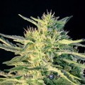 Wombat (Blimburn Seeds)