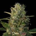 Santa Muerte (Blimburn Seeds)