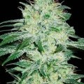 Orient Automatic (Blimburn Seeds)