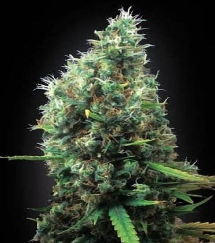 Tijuana (Blimburn Seeds)