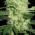 Dama Blanca (Blimburn Seeds)