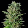Zuri Widow (Genehtik Seeds)