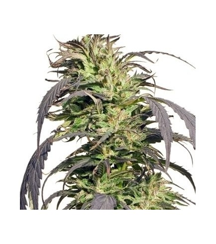 Gold Rush Outdoor (Spliff Seeds)
