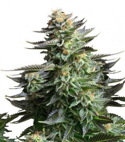 Amnesia Haze (Bulk Seeds)