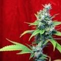 Sra. Amparo (Reggae Seeds)