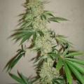 Sour Star (Hortilab)