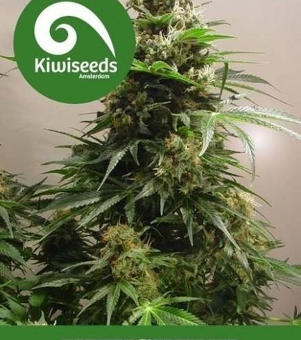 Kiwiskunk (Kiwi Seeds)