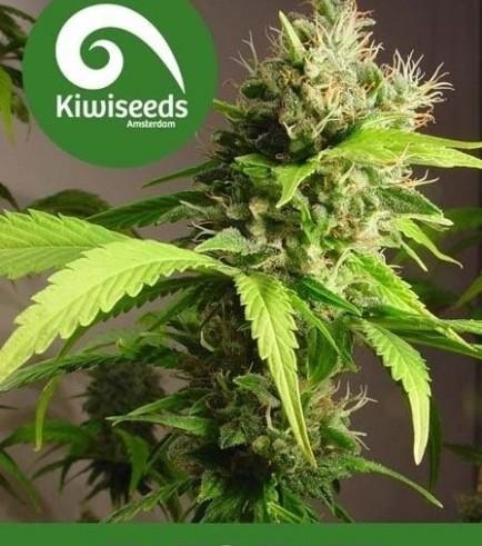 Mako Haze (Kiwi Seeds)