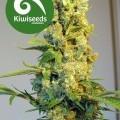 Milkyway (Kiwi Seeds)