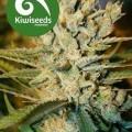 Alegria (Kiwi Seeds)
