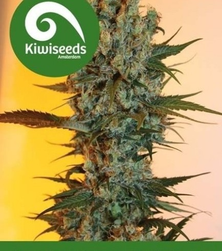Auto Power Plant (Kiwi Seeds)
