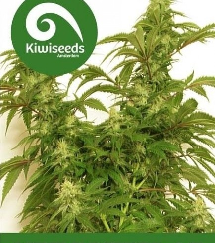 Little Dipper (Kiwi Seeds)