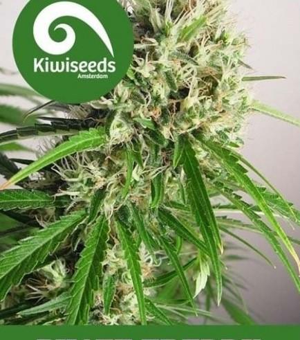 Phatt Freddy (Kiwi Seeds)