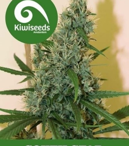 South Star (Kiwi Seeds)