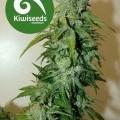 T99 (Kiwi Seeds)