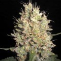 Crazy Miss Hyde (Samsara Seeds)