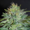 Sweet Black Angel (Samsara Seeds)