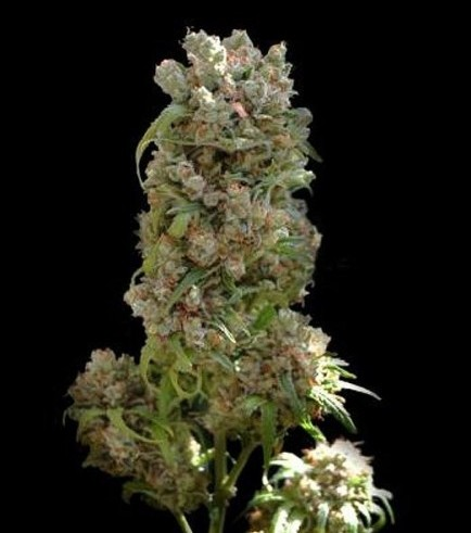 White Spanish (VIP Seeds)