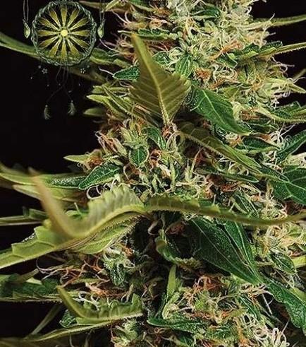 Super Skunk Autoflowering (Vision Seeds)