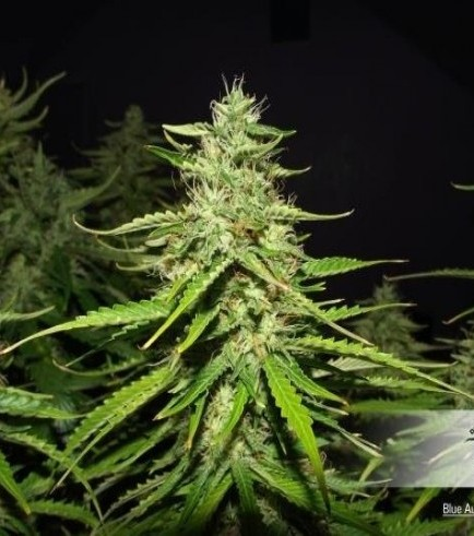 Blue Auto Mazar (Dutch Passion)