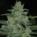 Pure Kush (Original Sensible Seeds)