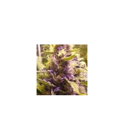 Sweet Kush (Original Sensible Seeds)
