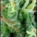 Arjan's Strawberry Haze (Greenhouse Seeds)
