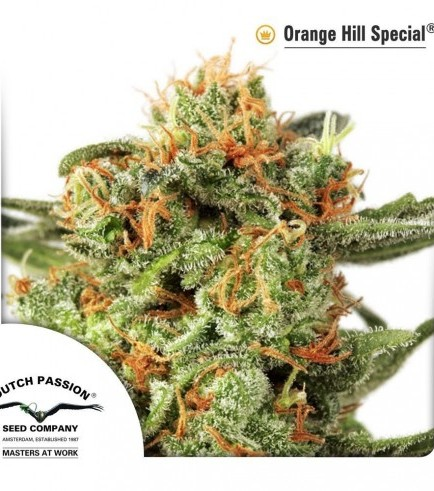 Orange Hill Special (Dutch Passion)