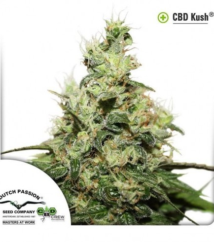 CBD Kush (Dutch Passion)