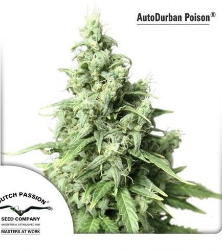 AutoDurban Poison (Dutch Passion)