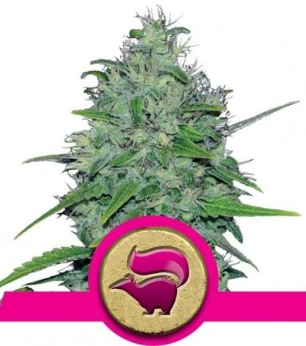 Skunk XL (Royal Queen Seeds)